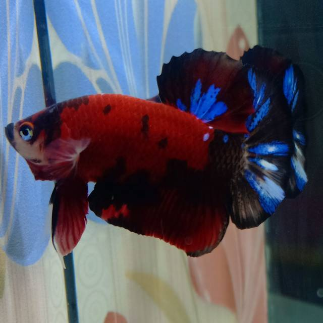 Ikan Cupang Nemo Super Red Multicolor Male Jantan M Shopee Indonesia