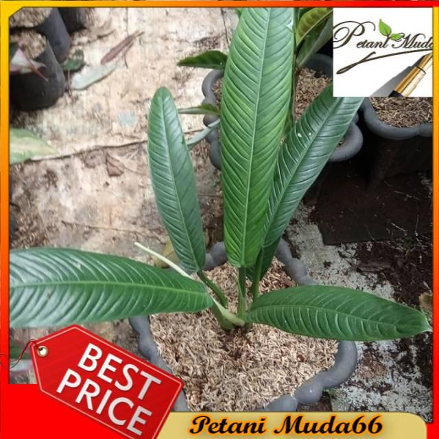 tanaman hias philodendron linet
