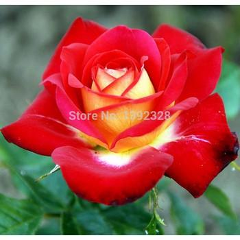 Isi 30 Butir Benih Bunga Mawar China Indah Beautiful Chinese Rose Import Shopee Indonesia