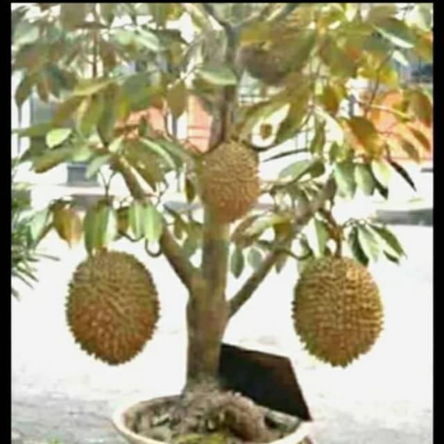 Bibit Durian Montong Super Bisa Berbuah Di Pot Shopee Indonesia