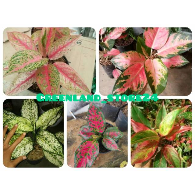 PROMO! Paket 5 tanaman aglaonema - aglaonema - aglaonema murah - aglonema - aglonema murah