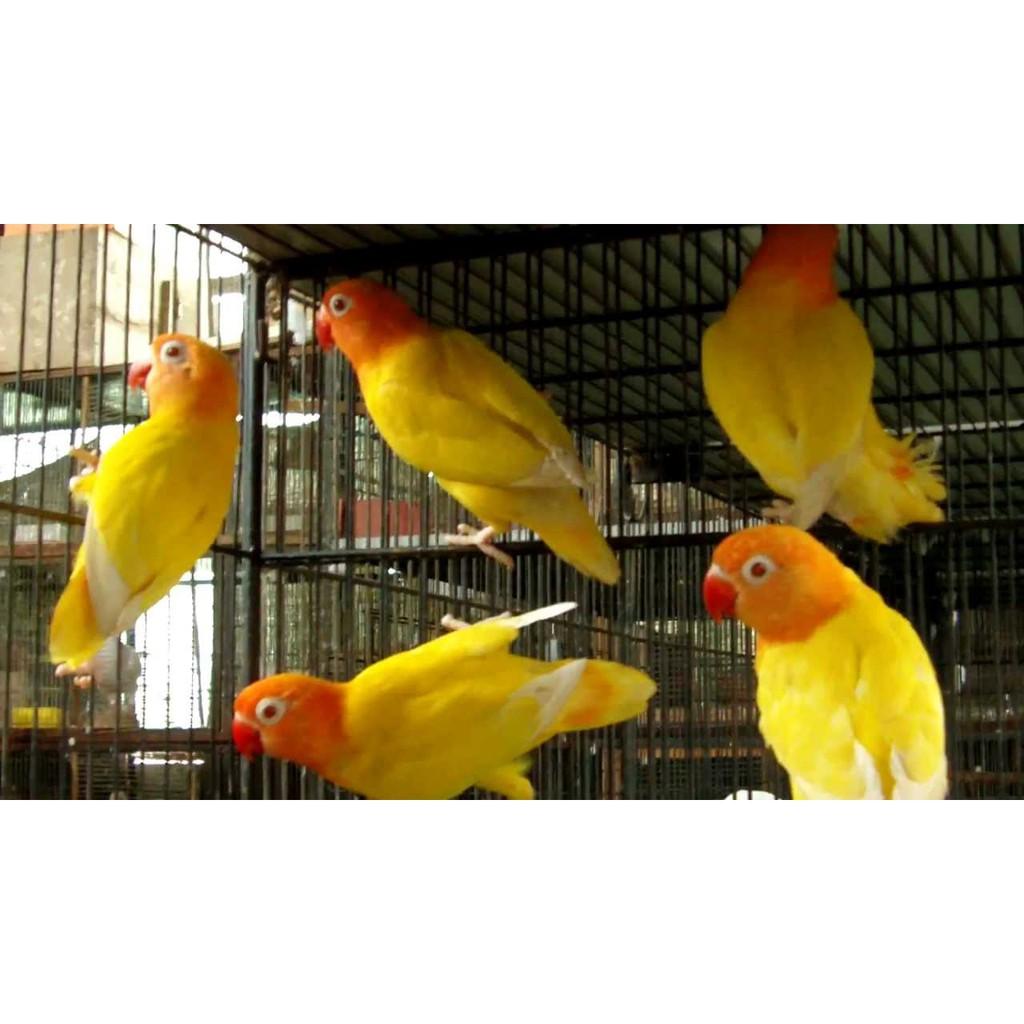 Jual Burung Lovebird Love Bird Lutino Mata Merah Banyak Pilihan Betina Jantan Shopee Indonesia