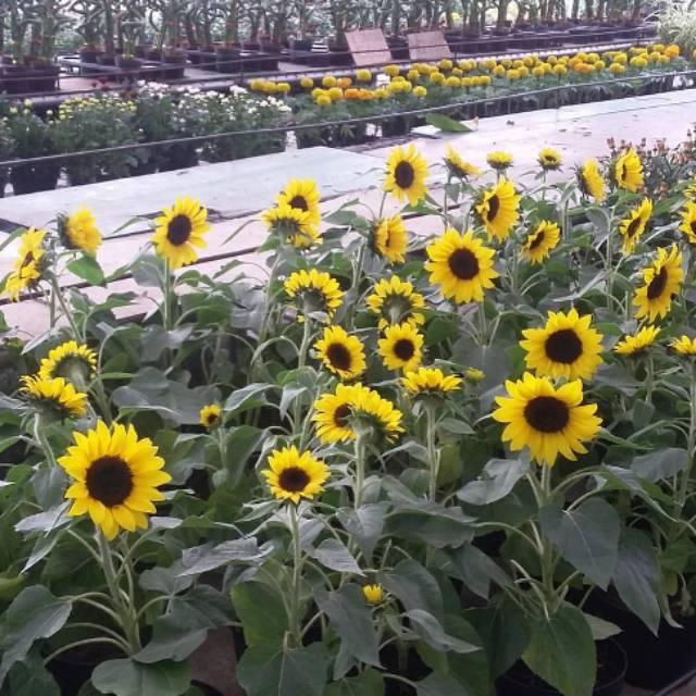 350 Biji Benih Bunga Matahari Big Smile Yellow Prado Shopee Indonesia