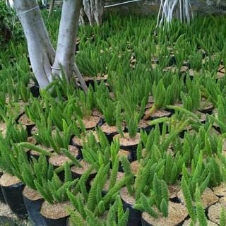 Tanaman Ekor Tupai Tanaman Asparagus Shopee Indonesia