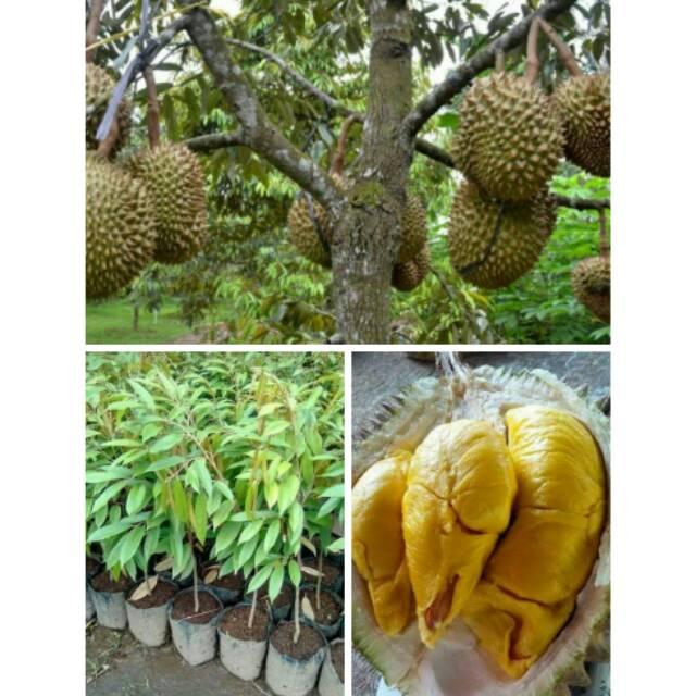 Bibit Unggul Super Durian Petruk Jenis Tanaman Okulasi Cangkok Pembibitan Cepat Berbuah Shopee Indonesia