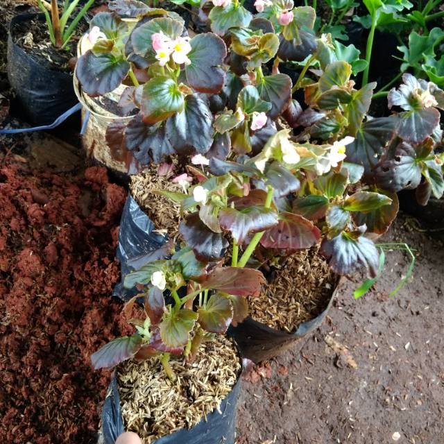 Tanaman Hias Begonia Bunga Begonia Putih Shopee Indonesia