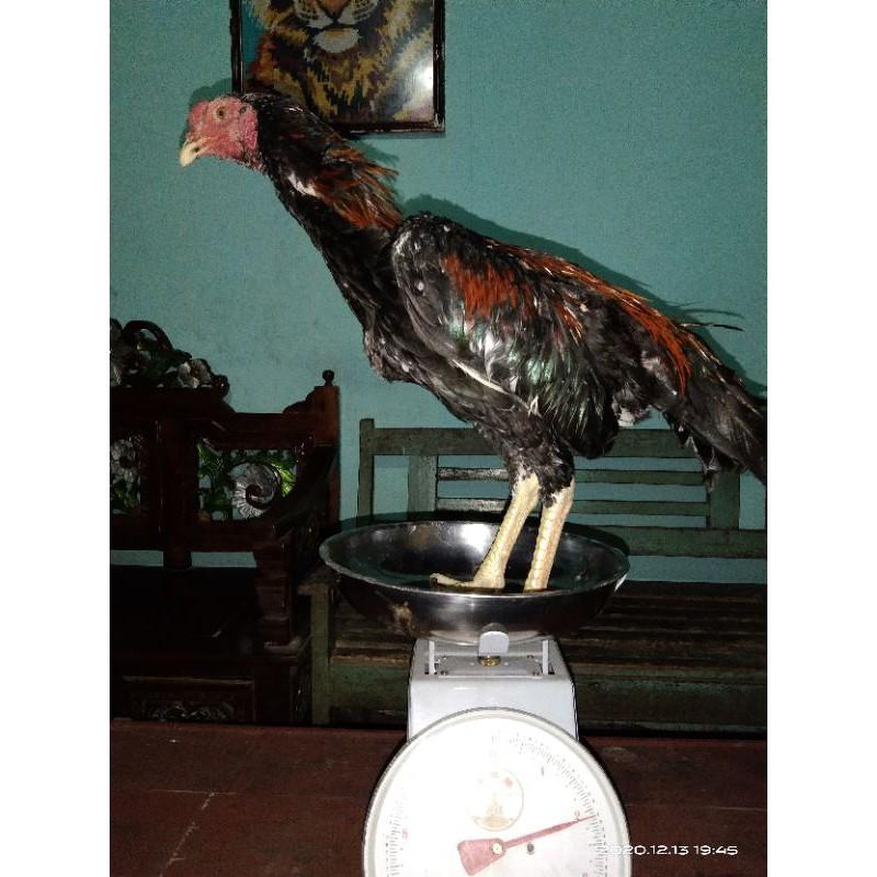 Anakan Ayam Madras Aseel X Biang BK Panus