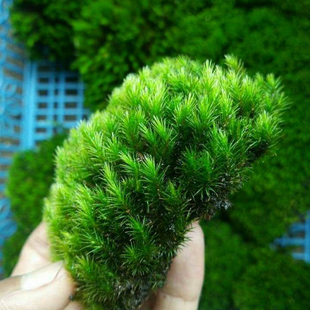 Star Moss Darat Buat Paludarium Shopee Indonesia