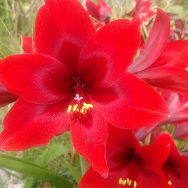 Tanaman Hias Bunga Amarilis Merah Shopee Indonesia