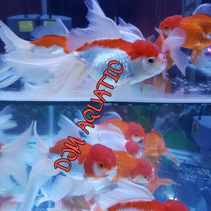 Disini Aja Ikan Maskoki Mas Koki Red Cap Jumbo Bigsize Indukan Aquarium Aquascape Stok Terbatas Shopee Indonesia