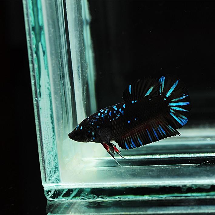 Ikan Hias Cupang Avatar Gordon Blue Betina Female 01 Shopee Indonesia