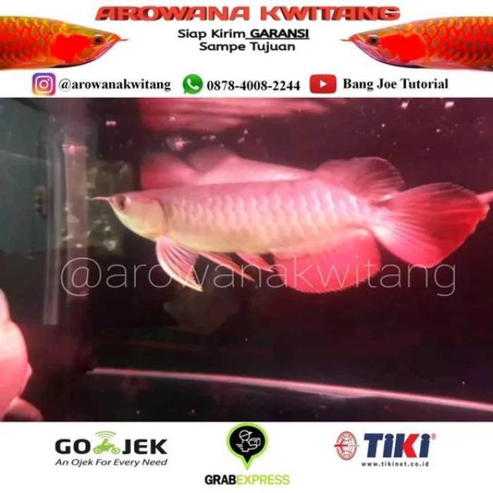 [Ready 2020] Ikan Arwana Golden Red / Arwana Golden Red / Ikan Arwana Golden Size 20cm TERMURAH