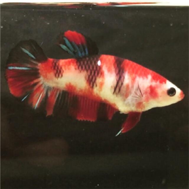 Ikan Cupang Betina Red Koi Shopee Indonesia