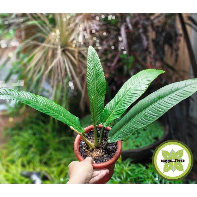 tanaman hias anthurium linet~antorium linet~tanaman hias anthurium