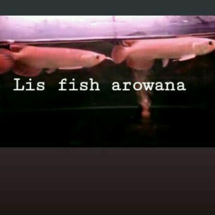 arwana super red premium ikan arwana super red