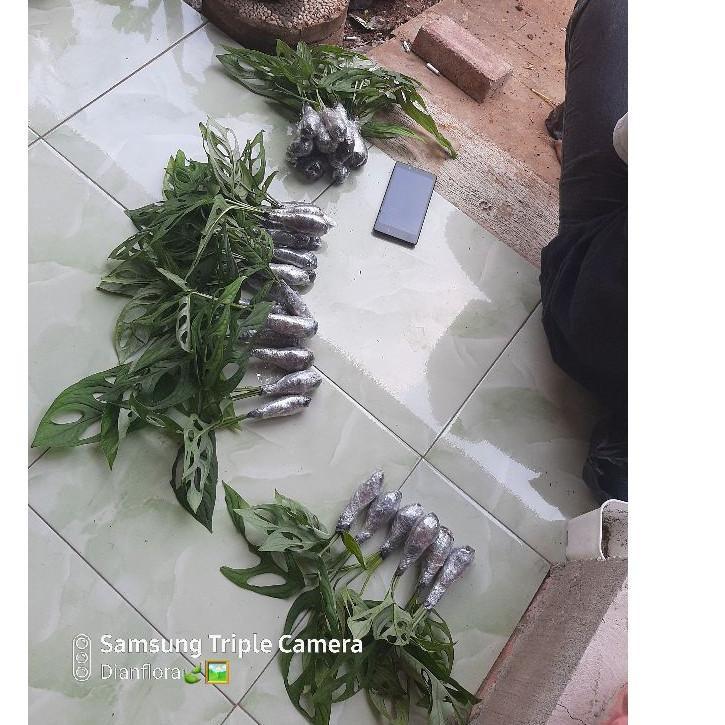 1365 Tanaman Hias Monstera Obliqua Tanaman Hias Monstera Janda Bolong Shopee Indonesia