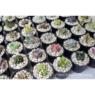 20pcs Sukulen Kaktus Mini Bukan Plastik Dapat Dikirim Pot Dan Media