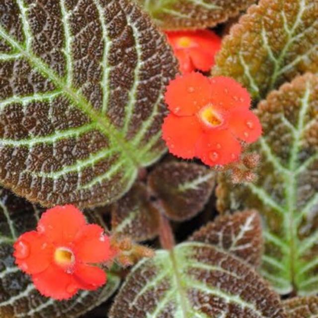 Bibit Tanaman Bunga Hias Episcia Bunga Merah Shopee Indonesia