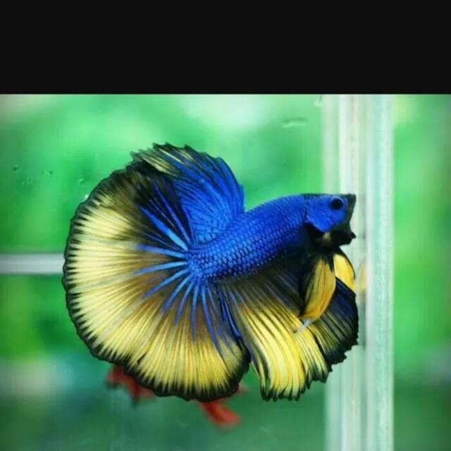 Ikan Cupang Halfmoon Biru Kuning Shopee Indonesia