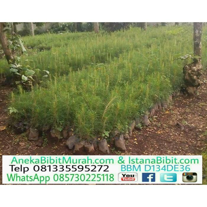 Bibit Pohon Pinus Merkusi Banyak Manfaat