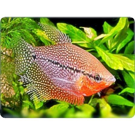 Ikan Hias Air Tawar Sepat Mutiara Aquarium Aquascape Garansi Hidup Sampai Tempat Shopee Indonesia