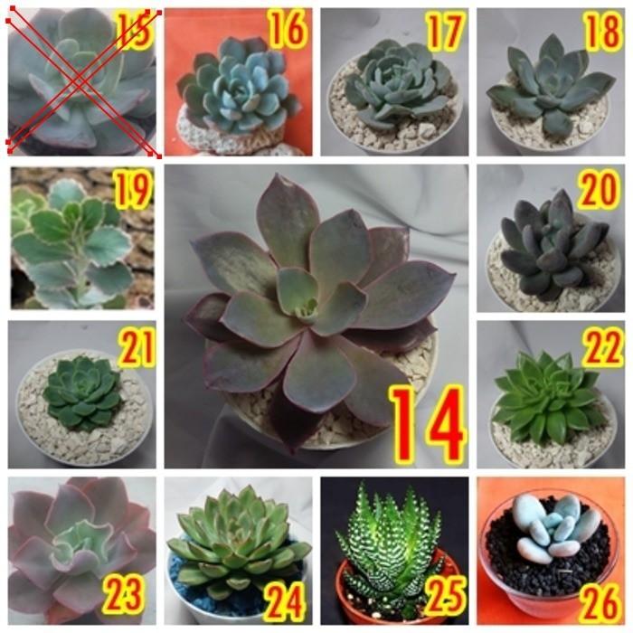 Harga Diskon Kaktus Sukulen Terrarium Tanaman Hias Bibit Murah Meriah  b931dcc590
