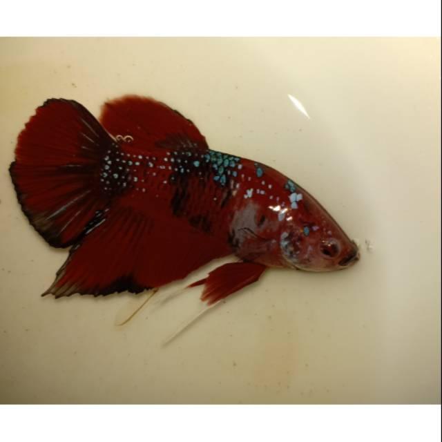 Ikan Cupang Plakat Red Koi Galaxy Murah Shopee Indonesia
