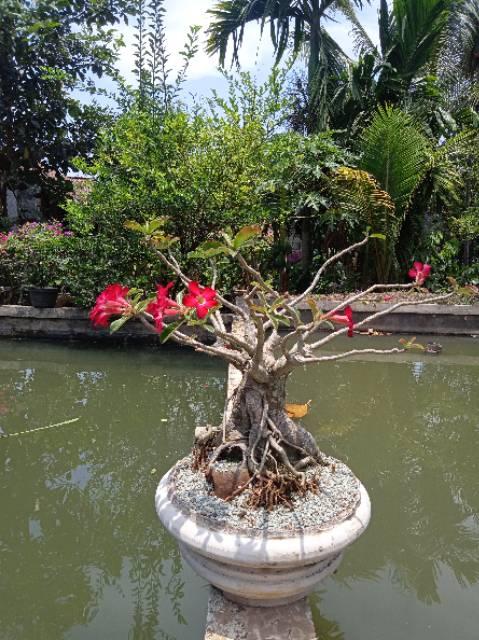 kamboja jepang Bonsai Adenium  A.21