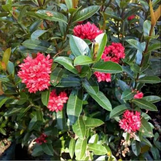 Tanaman Asoka Bunga Merah Tanaman Soka Bangkok Shopee Indonesia