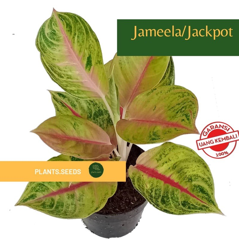 bonggol aglonema jameela / jackpot