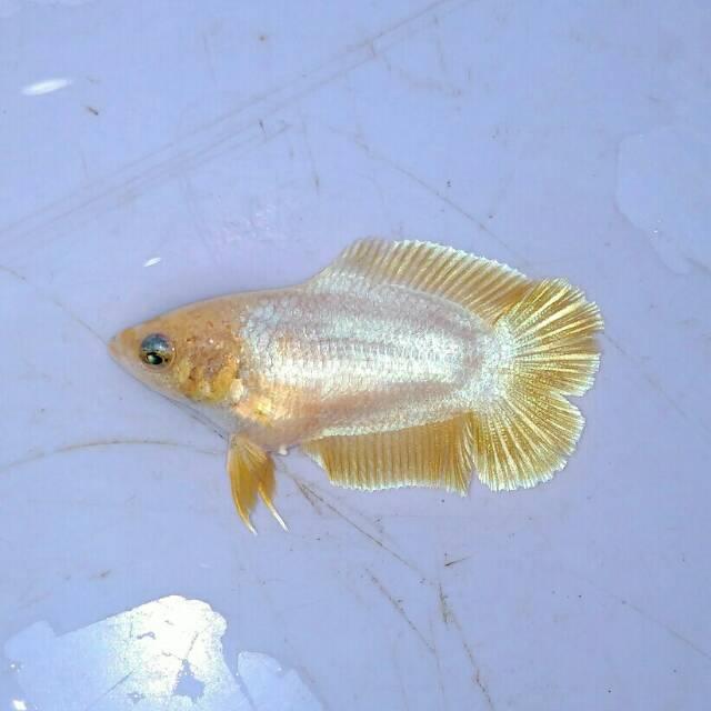 Ikan Cupang Hias Betina Pkdt Original Thailand Murah Grosir Shopee Indonesia
