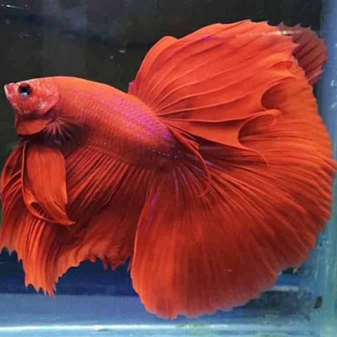 Ikan Cupang Halfmoon Red Solid Shopee Indonesia
