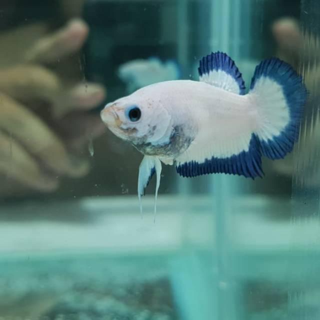 Ikan Cupang Blue Rim Import Shopee Indonesia