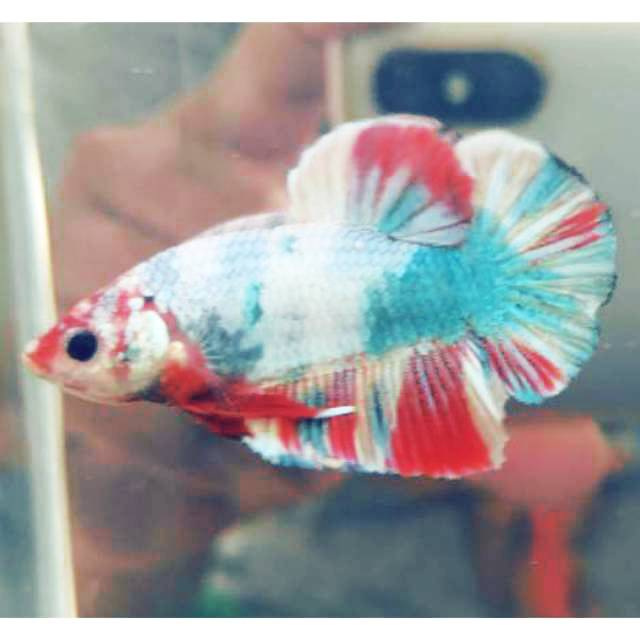 Ikan Cupang Nemo Candy Multicolor Grade Shopee Indonesia