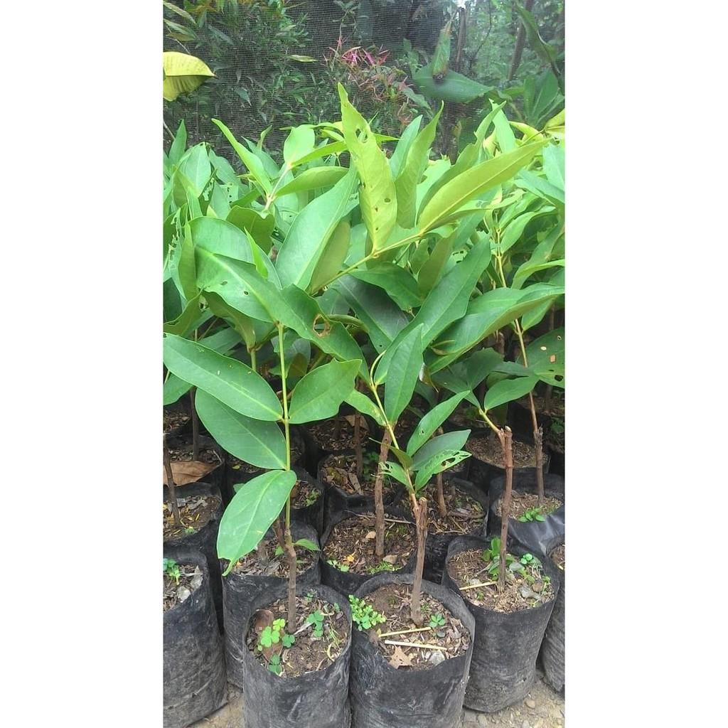 J And J Deli >> Tanaman Kebun Taman Bibit Jambu Madu Deli J