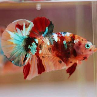 Cupang Nemo Cooper Multi Color Shopee Indonesia