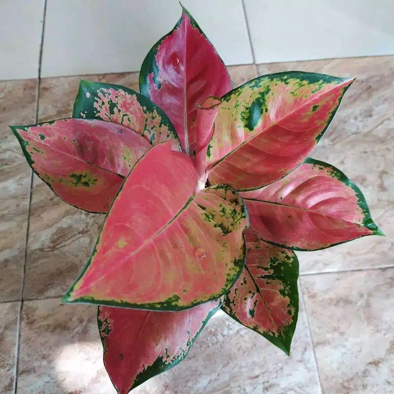benih aglonema/bonggol aglonema kochin hibrid