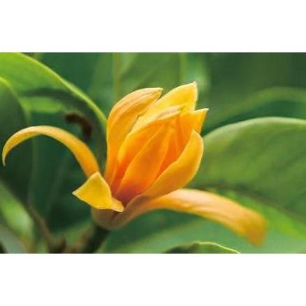 Paling Laris Bibit Tanaman Hias Bunga Kantil Kuning Kw Asli