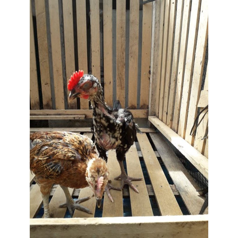 Ayam Pelung Terbaik Asli terah Cianjur (Sepasang 2 bulanan)