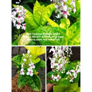 Bijit Tanaman Pohon Bunga Melati Jepang Asli Jenis Super Pembibitan Kecil Terbaik Berbunga Hias Shopee Indonesia