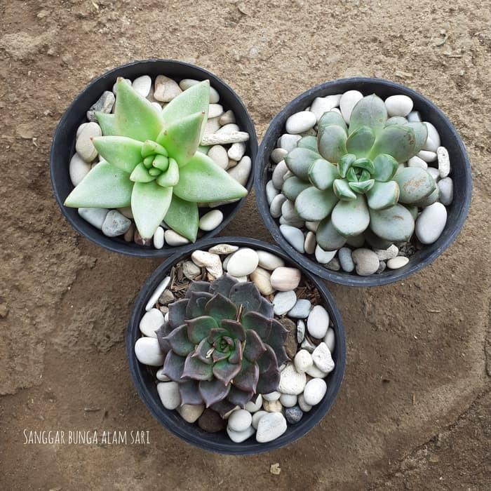 3 Paket Cantik Tanaman Hias Kaktus Suculen Bunga Plus Batu