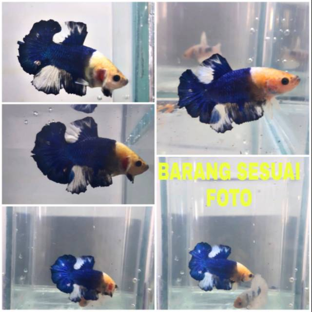 Ikan Cupang Plakat Blue Rim Marbel Yellow Head Thailand Ori Shopee Indonesia