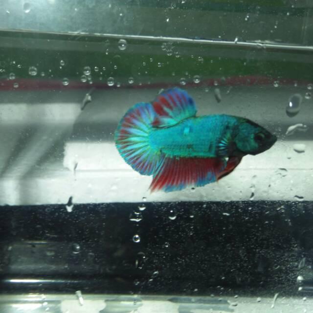 Ikan Cupang Besgel Jantan Line Avatar Shopee Indonesia
