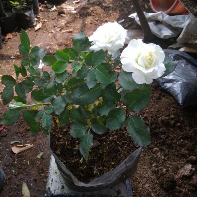Tanaman Bunga Bunga Mawar Putih Bunga Mawar Tanaman Bunga Hias Bunga Hidup Shopee Indonesia