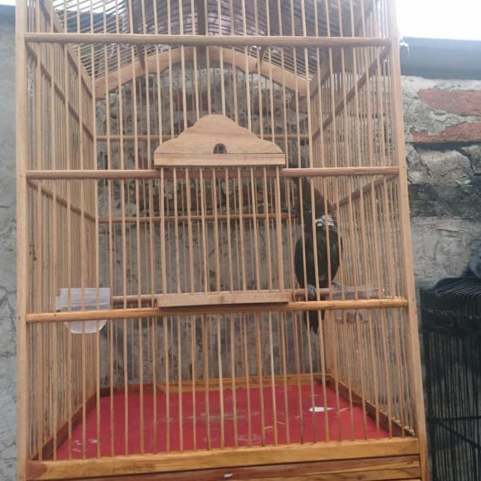 Promo Burung Cililin Cokelat Shopee Indonesia