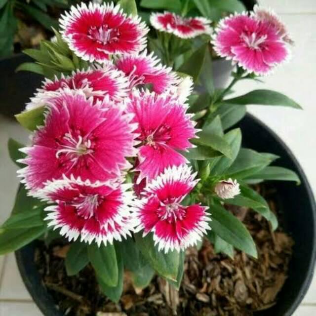 Diantus Tanaman Hias Bunga Cantik Shopee Indonesia