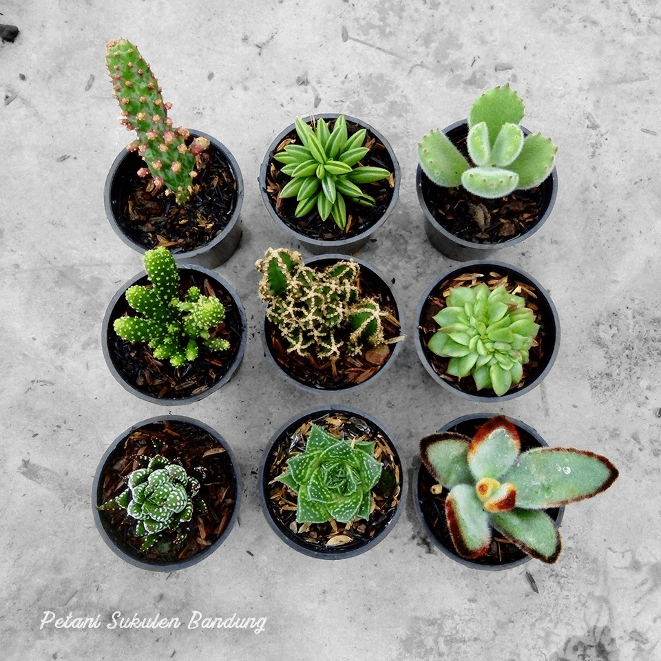 Sukulen Kaktus Aloevera Dan Howarthia Echeveria Succulent Cactus