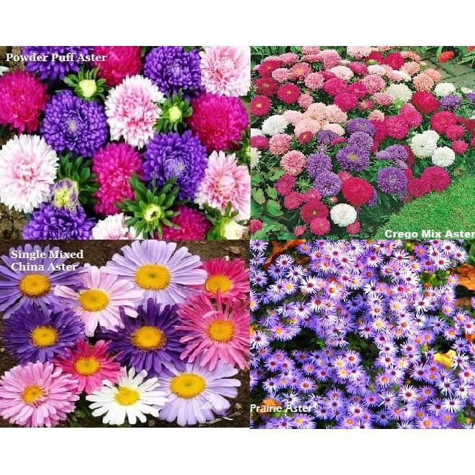 Paket Hemat Benih Bibit Seed Bunga Aster Isi 4 Jenis Aster Cantik Shopee Indonesia