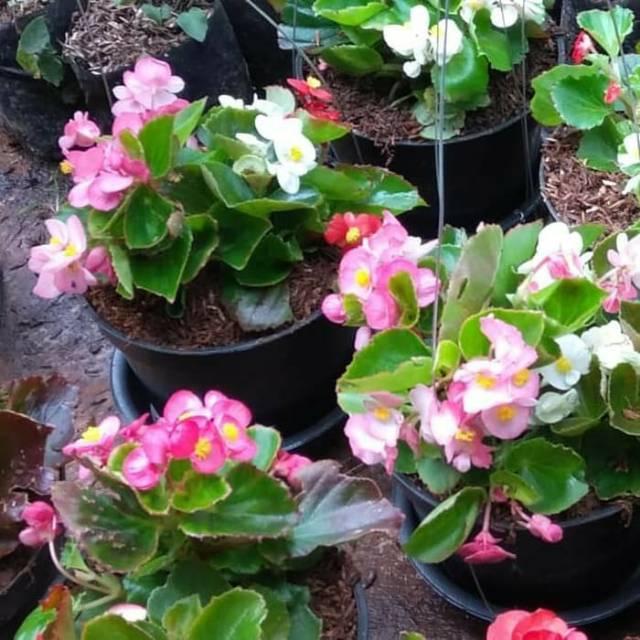 Bibit Tanaman Hias Bunga Begonia Pink Merah Jambu Tanaman Gantung Tahan Panas Shopee Indonesia