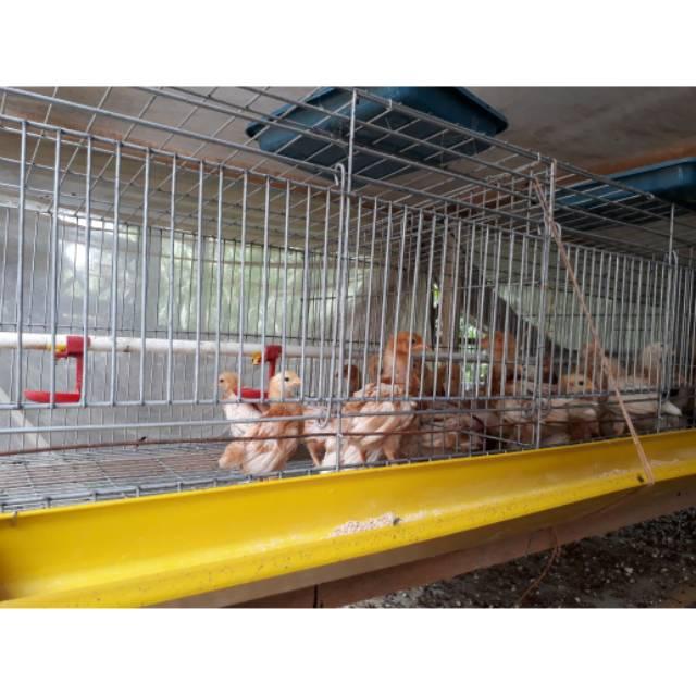 Kandang Starter Grower DOC Ayam Petelur Anti Karat ...
